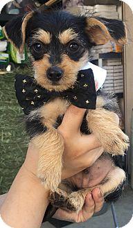 Rat Terrier Mix Puppy for adoption in Montclair, California - Lucas