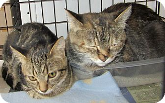 Domestic Shorthair Cat for adoption in Leamington, Ontario - Nosey