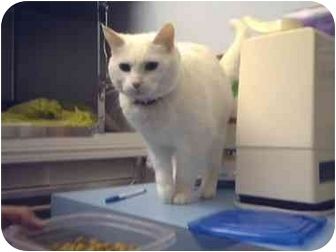 Domestic Shorthair Cat for adoption in Saanichton, British Columbia - Puddy