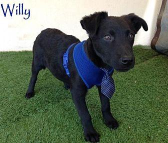 Labrador Retriever/Shepherd (Unknown Type) Mix Puppy for adoption in San Diego, California - Willy
