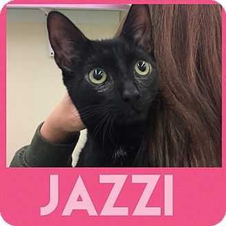 Domestic Shorthair Cat for adoption in Westbury, New York - Jazzi