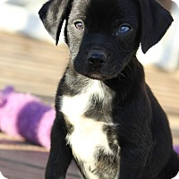 Adopt A Pet :: *Rooster - PENDING - Westport, CT
