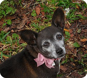 Chihuahua Mix Dog for adoption in Ormond Beach, Florida - Sweetie