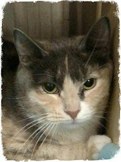 Domestic Shorthair Cat for adoption in Pueblo West, Colorado - Paxo