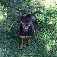 Miniature Pinscher Mix Dog for adoption in Allentown, Pennsylvania - Minnie and Penny