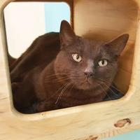 Adopt A Pet :: Coco Chanel - collingwood, ON