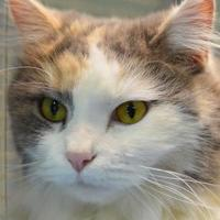 Domestic Longhair/Domestic Shorthair Mix Cat for adoption in Freeport, Illinois - Charm