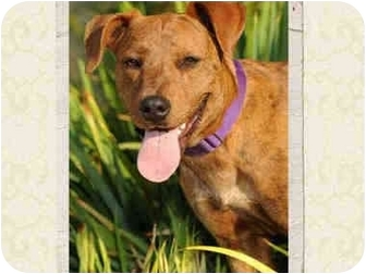 American Staffordshire Terrier/American Pit Bull Terrier Mix Puppy for adoption in San Pedro, California - Honey