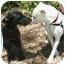 Photo 4 - American Bulldog Dog for adoption in Vista, California - Layla