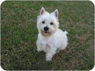 Westie, West Highland White Terrier Dog for adoption in Frisco, Texas - Kadie
