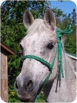 Arabian Mix for adoption in Quilcene, Washington - Moonshine