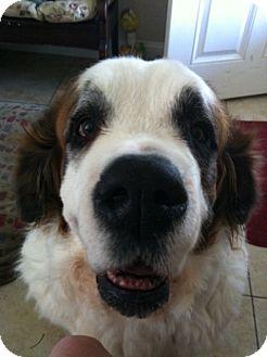 St. Bernard Dog for adoption in Sneads Ferry, North Carolina - Lana Banana
