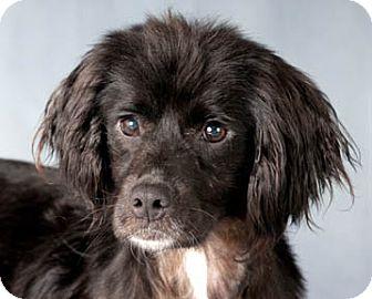 Cocker Spaniel/Spaniel (Unknown Type) Mix Dog for adoption in Chicago, Illinois - Hubert & Scarlette