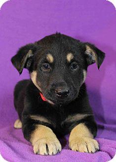 Shepherd (Unknown Type)/Husky Mix Puppy for adoption in Westminster, Colorado - Evangeline