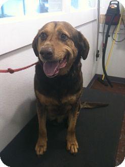 Beagle/Labrador Retriever Mix Dog for adoption in Newburgh, Indiana - Oscar