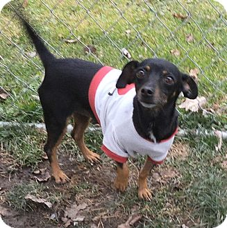 Chihuahua/Dachshund Mix Dog for adoption in Middletown, New York - Lacy