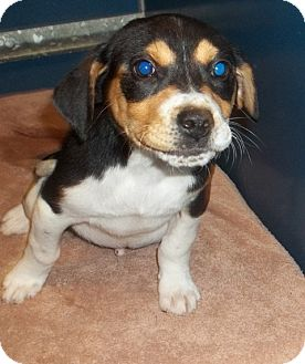 Bernese Mountain Dog/Hound (Unknown Type) Mix Puppy for adoption in Warrenton, North Carolina - Tommy