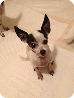 Chihuahua Dog for adoption in Seattle, Washington - Pinky