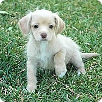 Adopt A Pet :: Teddi Berra - La Habra Heights, CA