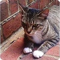 Adopt A Pet :: Boots - Nolensville, TN