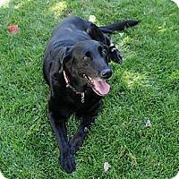 Adopt A Pet :: Keeta - Denver, CO