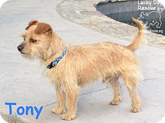 Terrier (Unknown Type, Small) Mix Dog for adoption in Pleasanton, California - Tony