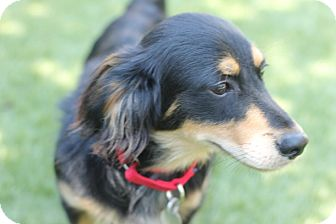 Dachshund Mix Dog for adoption in Chicago, Illinois - Zans