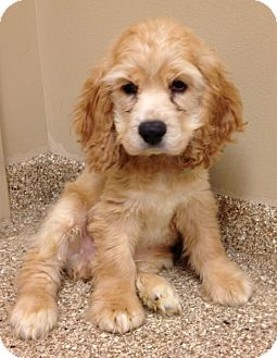 Cocker Spaniel Puppy for adoption in Fairview Heights, Illinois - Biscuit