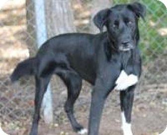 Retriever (Unknown Type) Mix Dog for adoption in Yukon, Oklahoma - Bippity