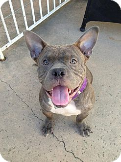 bull terrier bulldog mix yoda adopted dog west hills ca french bulldog 7923