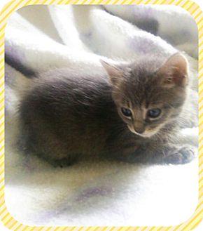 Domestic Shorthair Kitten for adoption in Houston, Texas - Loco