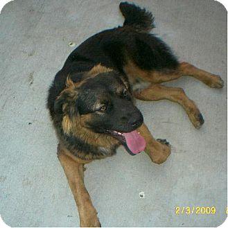 Golden Retriever/German Shepherd Dog Mix Dog for adoption in Long Beach, California - Oso