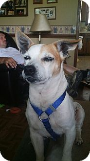 Jack Russell Terrier Mix Dog for adoption in Lebanon, Tennessee - Russell