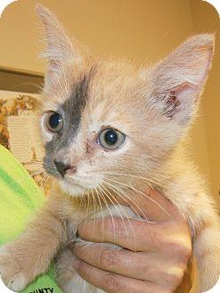 Domestic Shorthair Kitten for adoption in Cheboygan, Michigan - Smudge