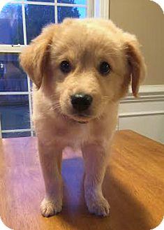 Golden Retriever/Corgi Mix Puppy for adoption in Bedminster, New Jersey - Zena