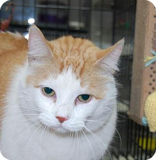 Domestic Shorthair Cat for adoption in Brooklyn, New York - Flame