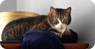 Domestic Shorthair Cat for adoption in Alexandria, Virginia - Teddy