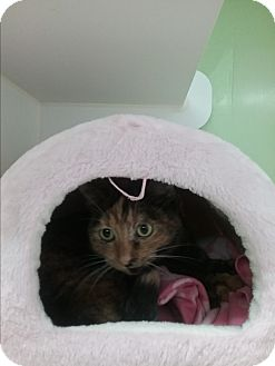 Domestic Shorthair Cat for adoption in Muskegon, Michigan - snickers