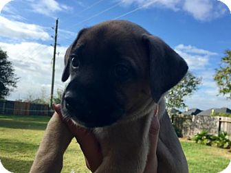 Labrador Retriever Mix Puppy for adoption in ROSENBERG, Texas - Reese (Carly - Pup H)
