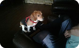 Beagle Dog for adoption in Overland Park, Kansas - BEAR