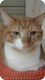 Domestic Shorthair Cat for adoption in Stafford, Virginia - Creamsicle
