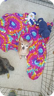 Chihuahua Mix Dog for adoption in Brownsville, Texas - Pocahontas