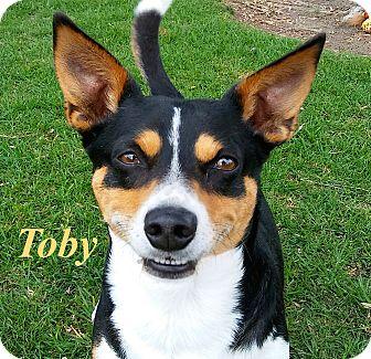 Corgi/Beagle Mix Dog for adoption in El Cajon, California - Toby