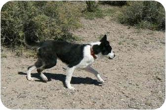 Border Collie Mix Dog for adoption in Thatcher, Arizona - Bandit
