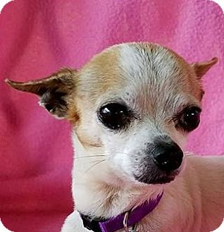 Chihuahua Mix Dog for adoption in Allentown, Pennsylvania - Nakoma