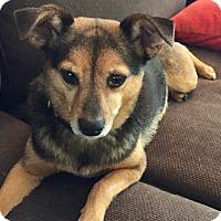 Adopt A Pet :: PORSHA - KITTERY, ME