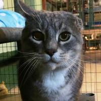 Adopt A Pet :: Grey Boy - Salem, OH