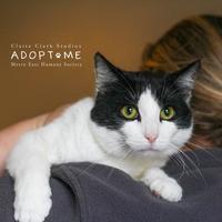 Adopt A Pet :: Clover - Edwardsville, IL