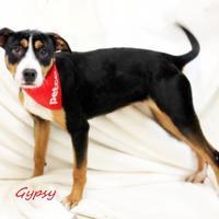 Adopt A Pet :: Gypsy - Dalton, GA