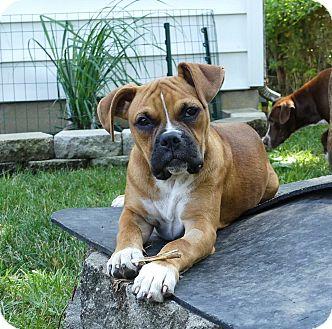 Boxer Mix Puppy for adoption in Dayton, Ohio - Nina